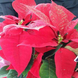 ポインセチア「Nochebuena」はメキシコの代表花!